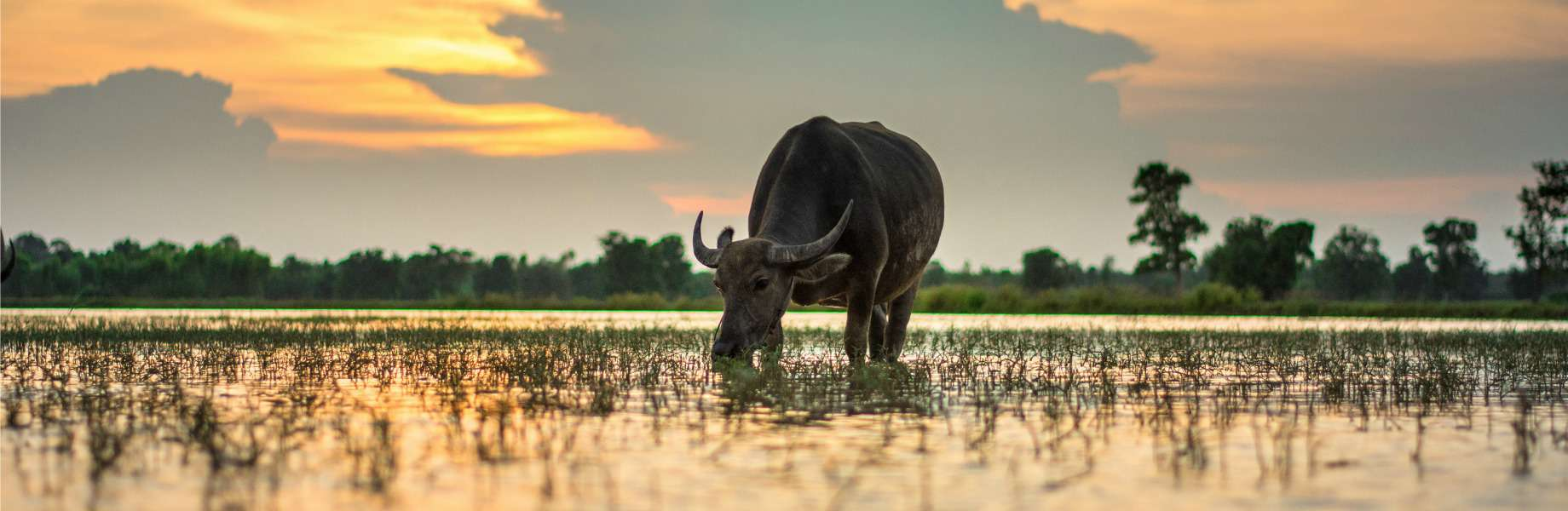Myanmar Family Adventure - Water Buffalo